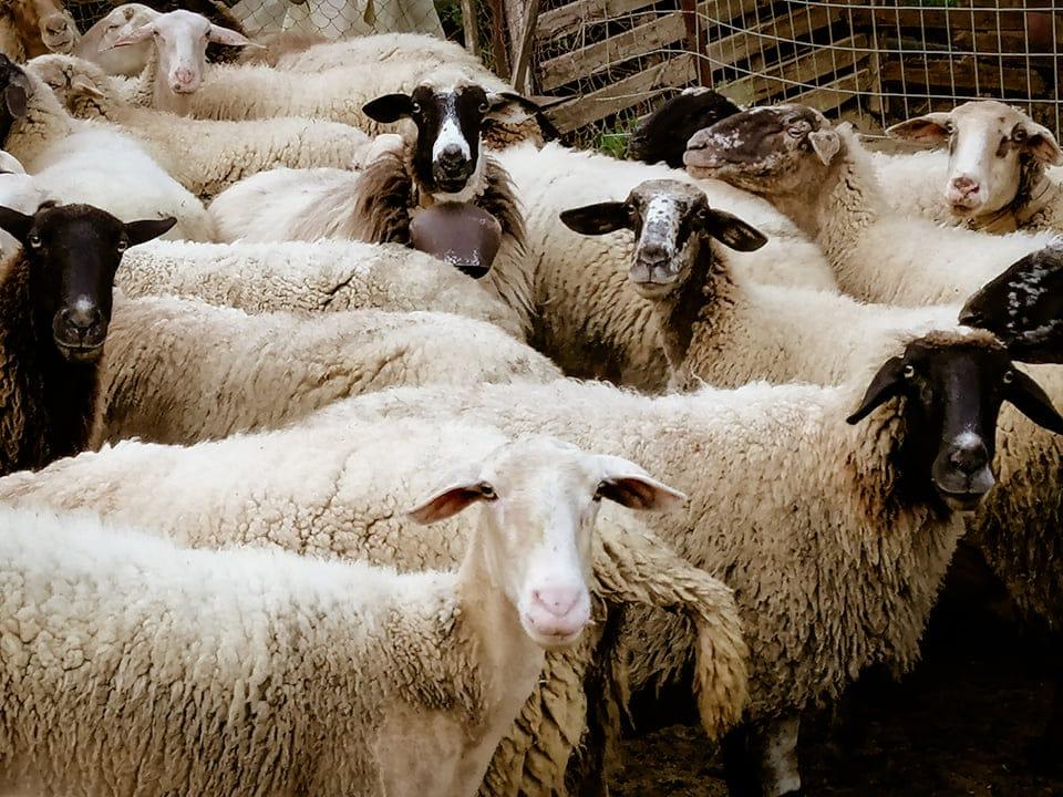 Πρόβατα-Βλάσης Κοζώρης
